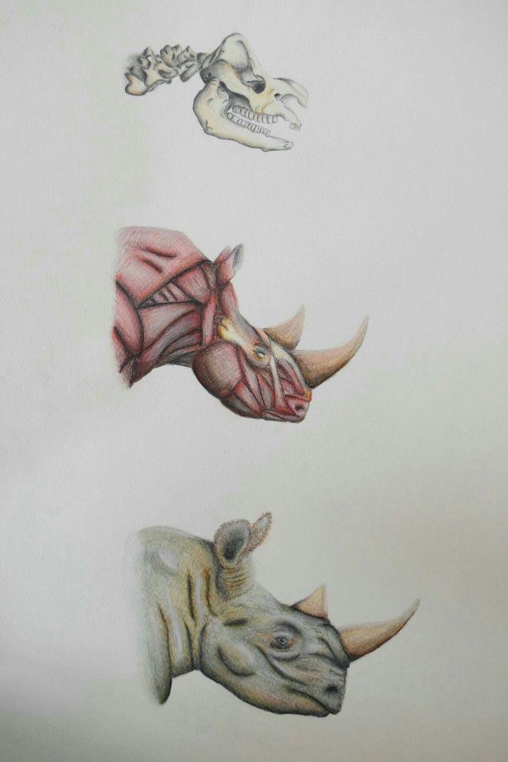 Rinoceronte: cráneo,  músculos y cabeza. ilustración científica en acuarelas, lapices y lapices de color. Oscar_ilustra