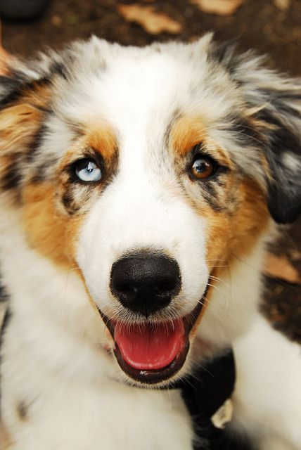 Australian Shepherd /Smiley