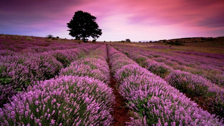 lavender fields in france | ... Field Wallpaper - Download FREE Widescreen HD Beautiful Lavender Field