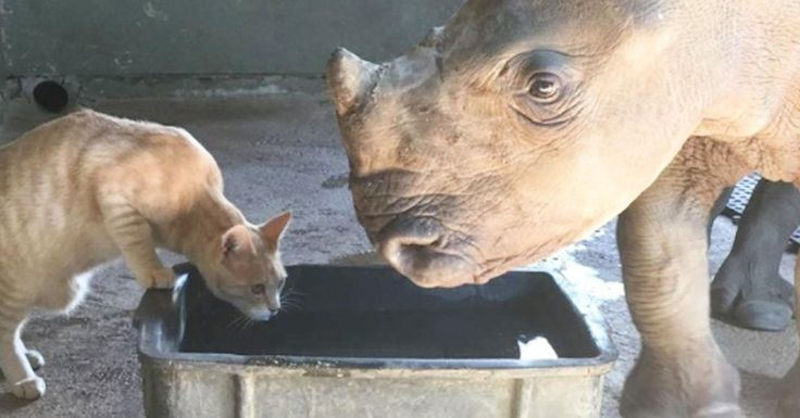 Rhino Who Lost Her Mom Is Best Friends With This Cat Rhino Who Lost Her Mom Is Best Friends With This Cat To sponsor Nandi's ongoing care, you can support the Rhino Orphanage and the Wild Heart Wildlife Foundation.
