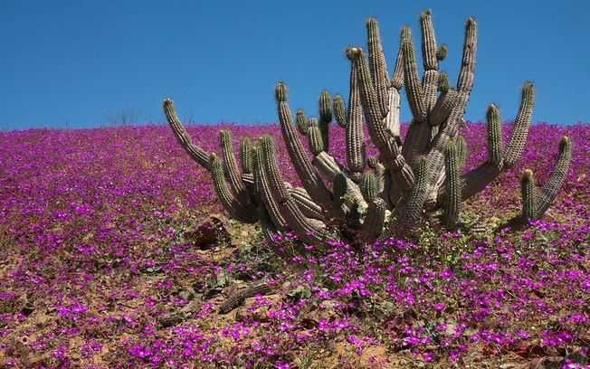 Flowers bloom on the desert in the Llanos de Challe national park, at the doors of the Atacama desert, 600 km north of Santiago, Chile.