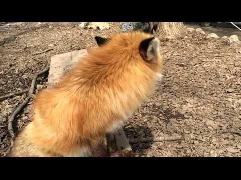fox say! キツネの鳴き声(キツネ村にて) - YouTube
