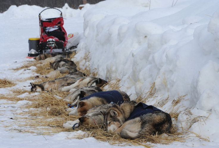 «Iditarod» 2013,  (The Anchorage Daily News / Bill Roth)