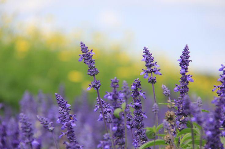 Lavender @ Farm Tomita. Summer in Furano, Hokkaido.