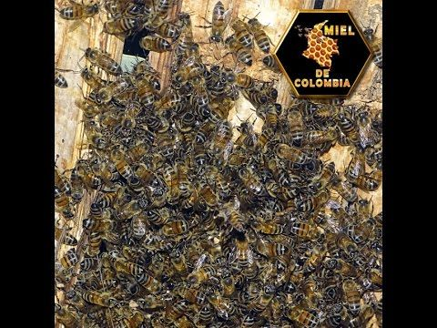 Abejas Africana
