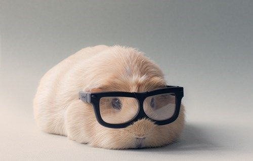 Squee Guinea Pig in Hipster Glasses!