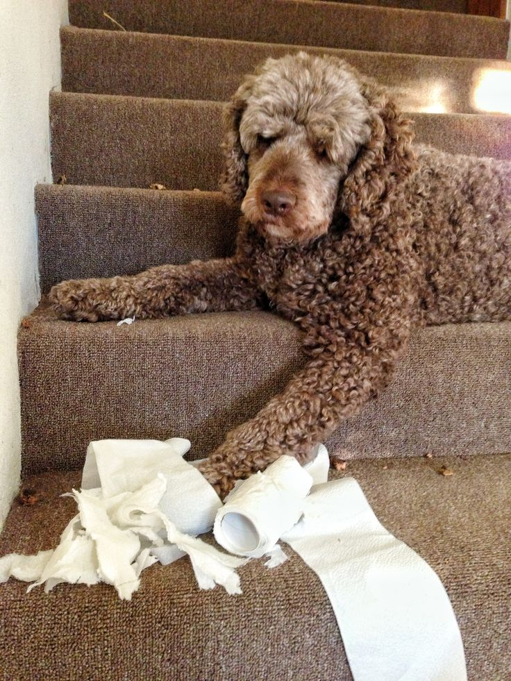 sorry, I don't have a square to spare! #labradoodle #dog #fraggle #destroy