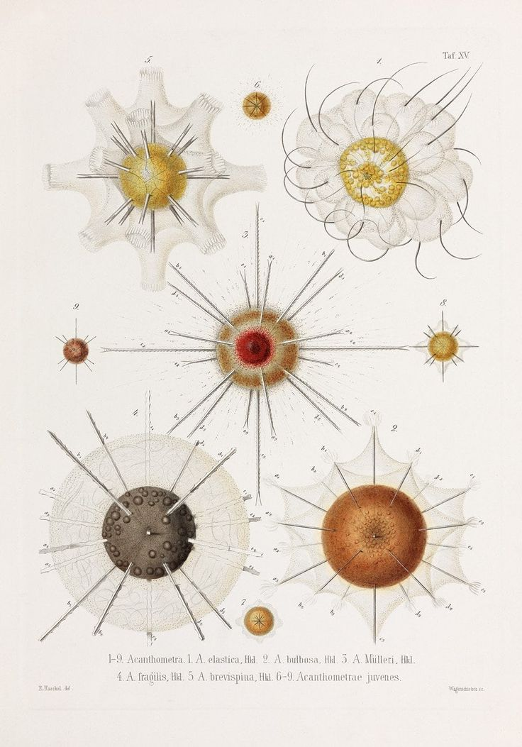 The Guardian: Ernst Haeckel: the art of evolution – in pictures
