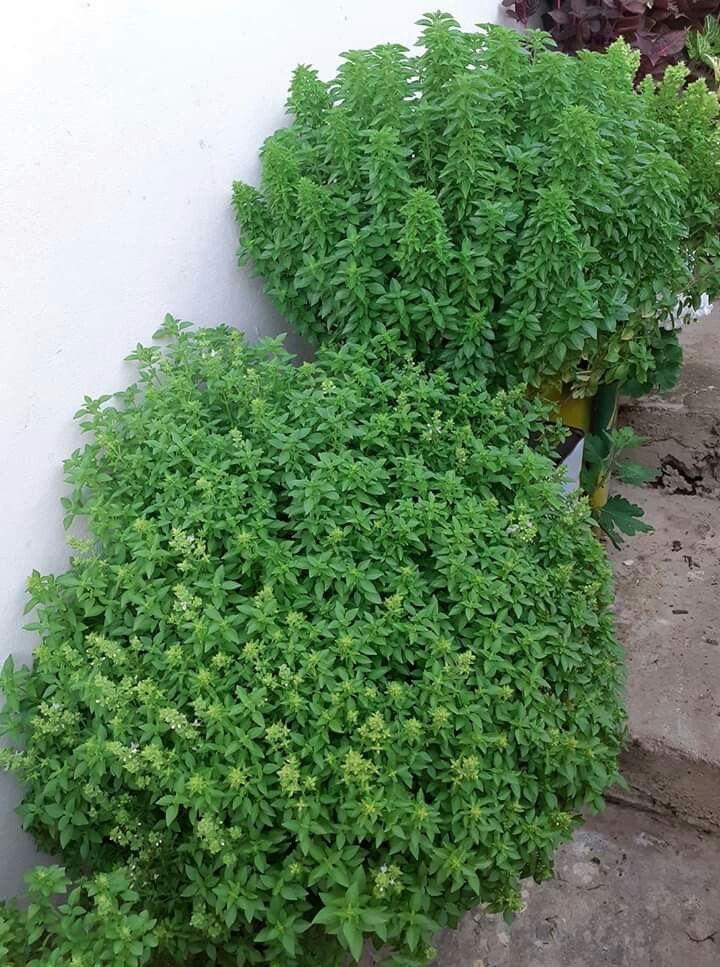 من صدف البحر Herbs Parsley