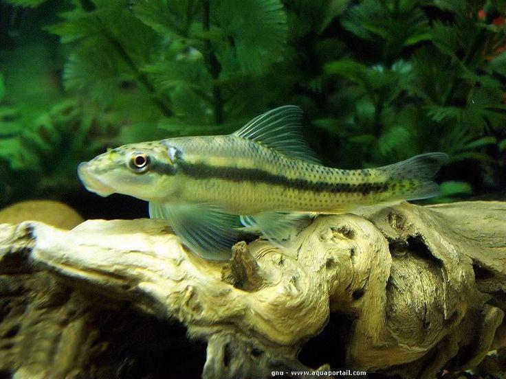 Parfait Les 73 meilleures images du tableau Poissons d'aquarium sur  TY09