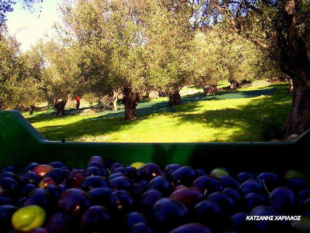 """Βιολογικό Ελαιόλαδο - Κτήμα Οικ. Κατσάνη: """" Μύθος η διατροφική εξάρτηση της Ελλάδας από άλλε..."""