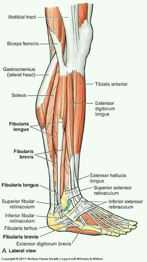 Leg Muscles - Lateral (Torn Hip Flexor) #HipFlexorsStrengthening