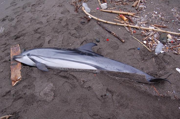 Dead dolphin, Delfino trovato morto a Posillipo