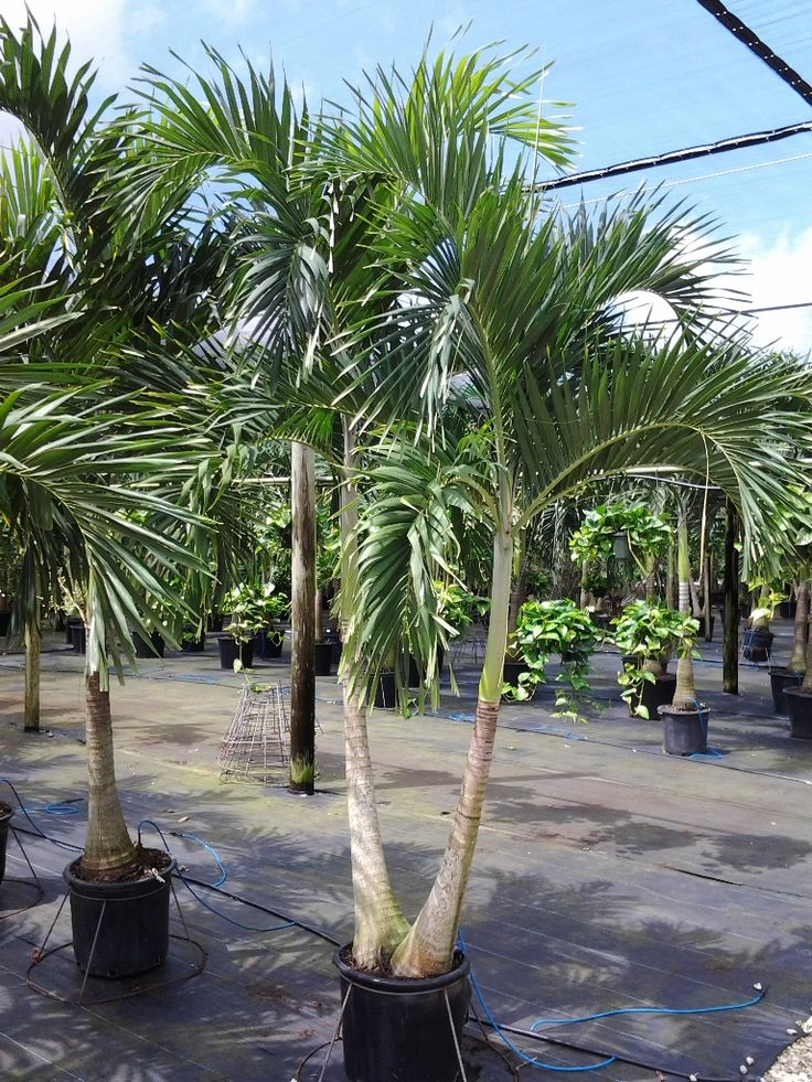 19 Best Miami Palm Tree Plant Rentals Service Images On