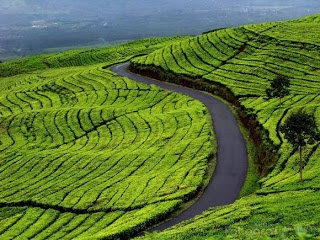 Tea garden (Pagar Alam, South Sumatra)