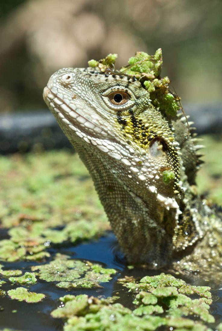 Lagarto australiano busca alimento em um pântano. Quando são incomodados, os lagartos simplesmente pulam de volta para dentro da água, em Adelaide Hills, Austrália do Sul, Austrália
