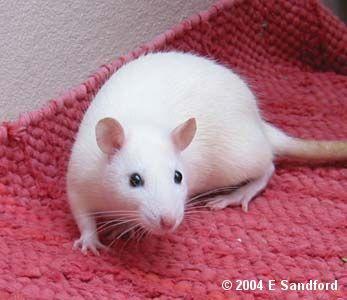 White rat with black eyes - photo#2