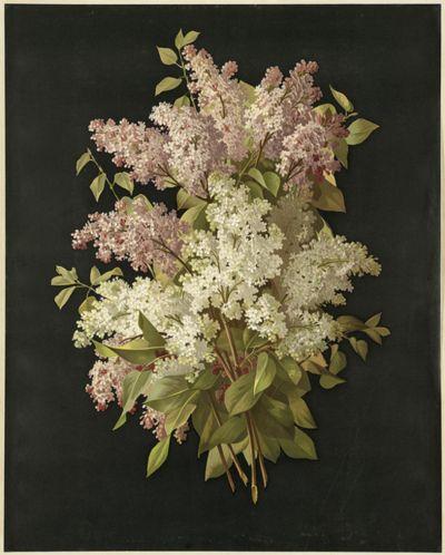 Bouquet of Lilacs ~ Maucherat de Longpre, Raoul-Victor-Maurice (artist); L. Prang & Co. (publisher)