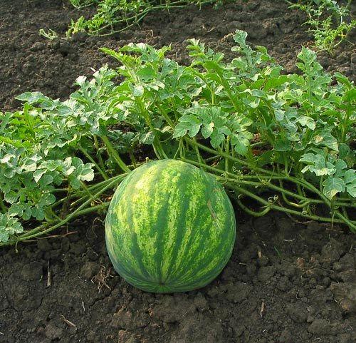 Vodní meloun - roslina