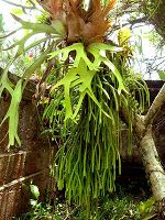 Tanduk Rusa (Paltycerium Coronarium)