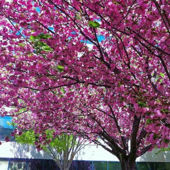 Kwanzan Cherry Tree 3 4 Etsy Flowering Cherry Tree Cherry Trees Garden Cherry Tree