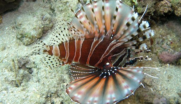 Lionfish hunting party	 	   	 	  In the warm tropical ocean around the Great Barrier Reef, the lionfish hunts. Venomous fins fan out to trap a school of smaller fish. The little fish look for an escape. But this lionfish is not hunting alone.