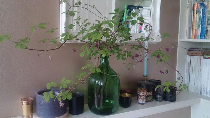 Akebia in bloei op de openhaardrand. Die geur, die móét gewoon naar binnen! Zooo lekker, soort indiaas parfum lijkt het, de bloemetjes zij ook heel mooi, klein en wasachtig bordeauxrood met roze.