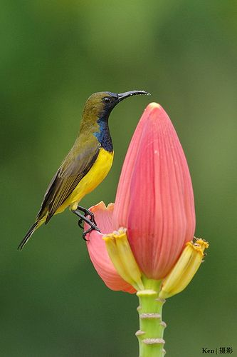 Olive-backed Sunbird (Cinnyris jugularis)
