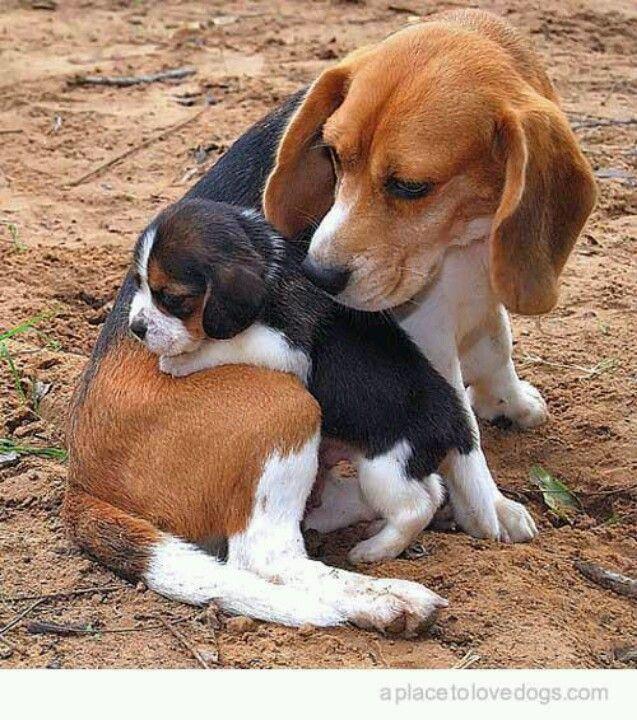 Beagles                                                       …                                                                                                                                                                                 More                                                                                                                                                                                 More