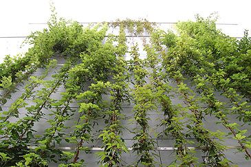 Climbing Plants On Jakob Stainless Steel Ropes Mma