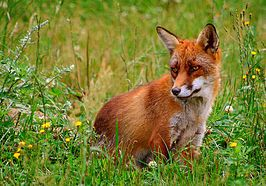 Rød ræv (Vulpes vulpes).jpg