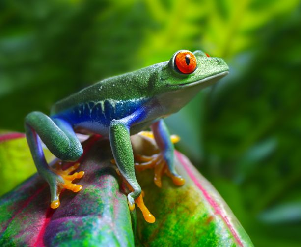 Red eyed tree frog :)