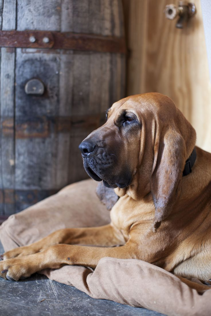 Meet Copper, one of Mountain Park's beloved bloodhound mascots.