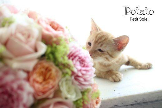 茶トラ子猫 ポテト    red tabby cat