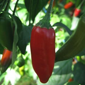 Heinän Puutarha viljelee moneen makuun sopivat miedot chilit puutarhallaan Salossa.