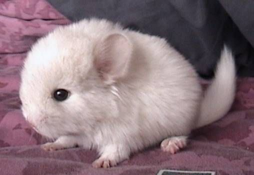 Chinchilla For Sale >> The White Chinchilla We Had For A Few Months Was Like This But