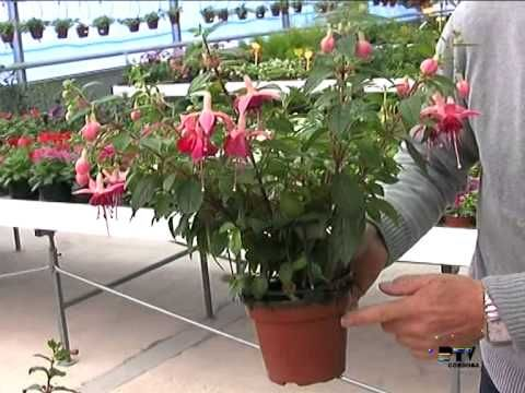 El jardinero en casa - Fucsias - YouTube