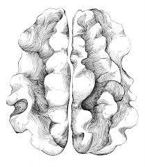 walnut drawing - Google Search