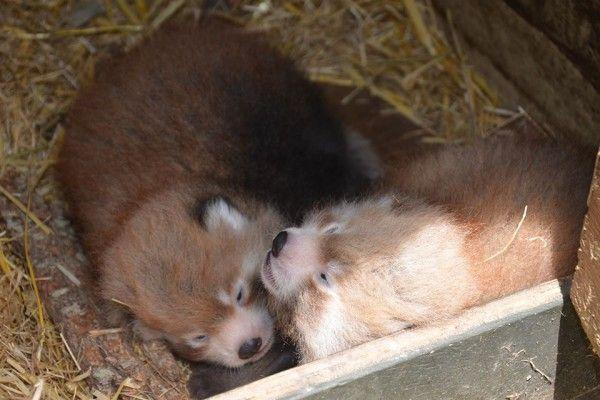 В Зоопарке Окленда родились два детеныша красной панды - http://zoovestnik.ru/2014/04/16855/
