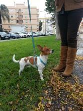 Perro Jack Russell en adopción en Barcelona | Teddy http://savealife.es/teddy