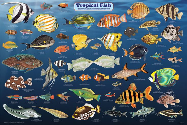 Tropical fish poster sea life posters pictures prints for Freshwater aquarium fish list