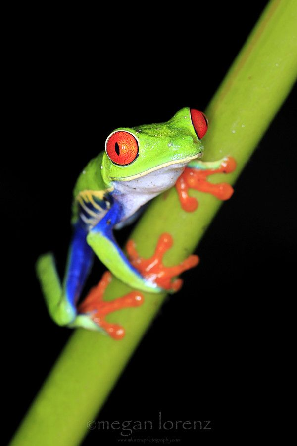 Red-Eyed Tree Frog AKA Gaudy Leaf Frog at night in Costa Rica | Megan Lorenz on 500px