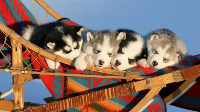 How are miniature husky puppies different from other husky puppies ...