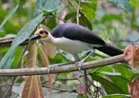 The picathartes, rockfowl or bald crows are a small genus of two passerine bird species forming the family Picathartidae found in the rain-forests of tropical west and central Africa. - Wikipedia