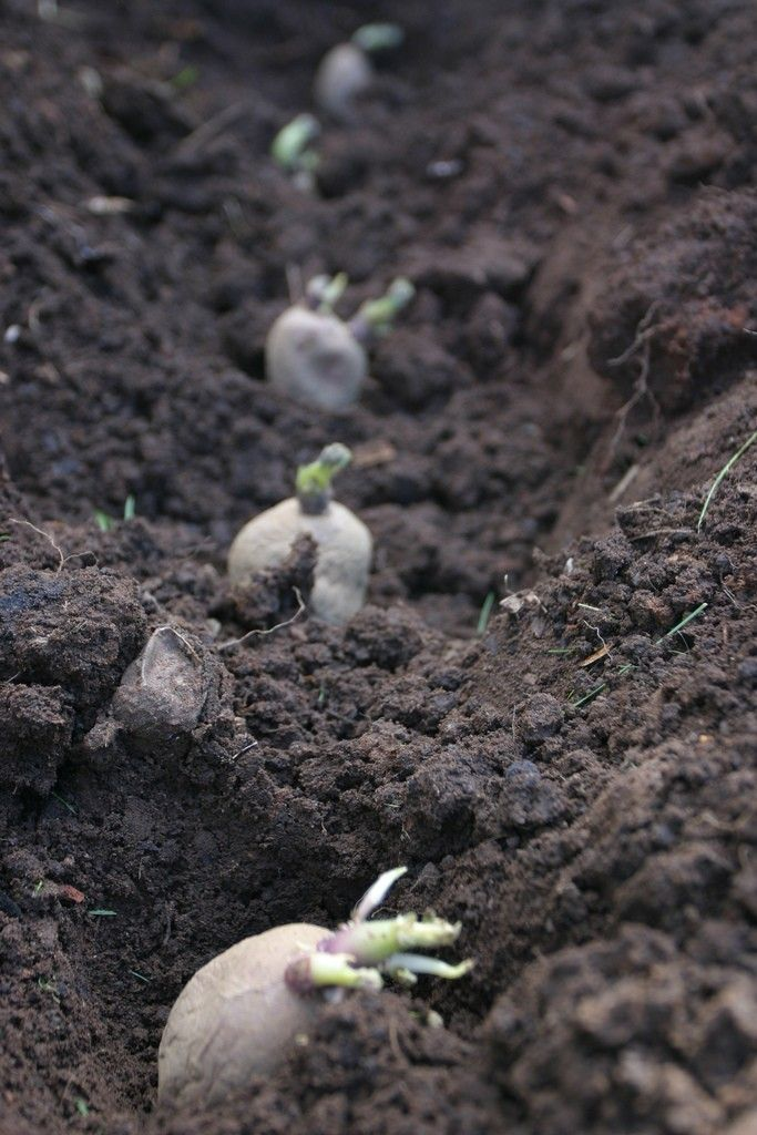 Let's talk potatoes. Though many people are familiar with when to plant potato crops, others may question how deep to plant potatoes once they're ready for growing. This article will help you with that.