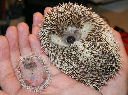 Baby hedgehog and a adult hedgehog