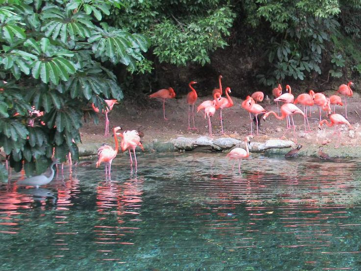 Flamingos are a feature of the Parque Zoológico Nacional in Santo Domingo, Dominican Republic.