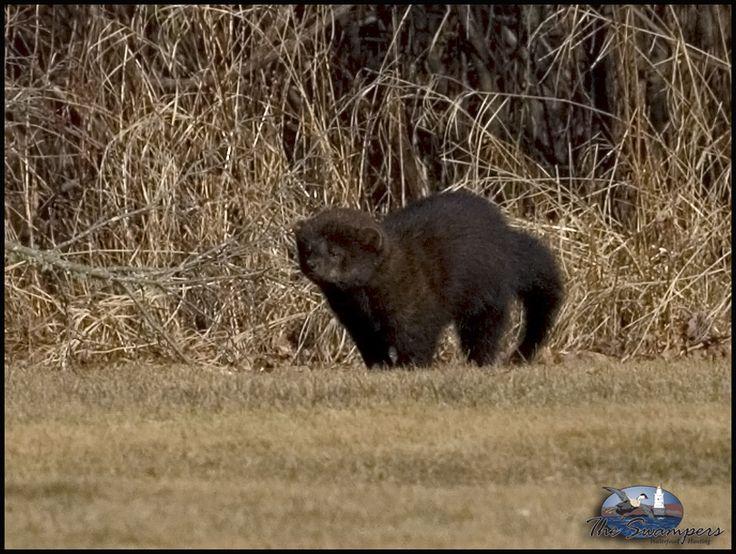 Fisher Cat looks like a small bear