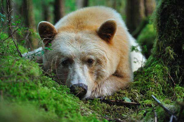 """L'ours kermode, surnommé """"l'ours Esprit"""" par les Tsimshians, cet animal rare a été découvert en 1905 par un scientifique canadien, Francis Kermode. Plus petit qu'un ours polaire, plus solitaire aussi, le kermode vit sur un territoire insulaire. Omnivore, il est aussi à l'aise dans l'eau, sur terre ou dans les arbres. On peut le voir sur les îles de la Princesse Royale et Gribbell, où il vivait en toute quiétude jusqu'à très récemment."""