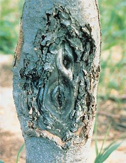zonate: pertaining to a targetlike development of tree canker, characterized by successive, perennial rings of callus; referring to any symptom appearing in concentric rings (zonate canker caused by Nectria galligena in apple)